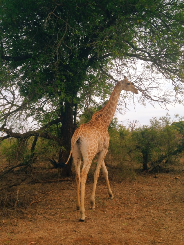A giraffe at Kruger National Park, South Africa