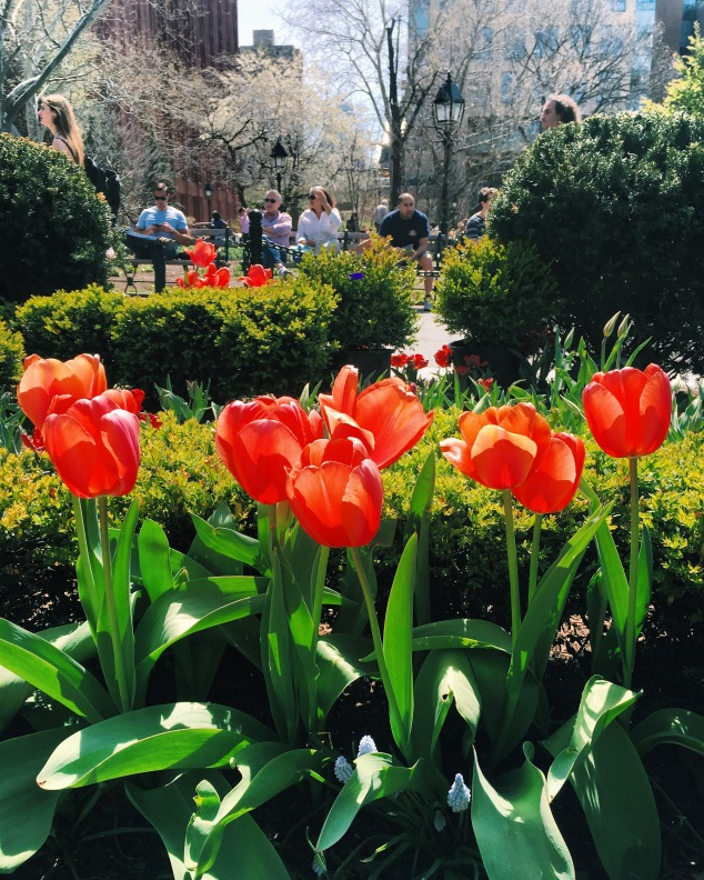 Tulips in Washington Square, New York City