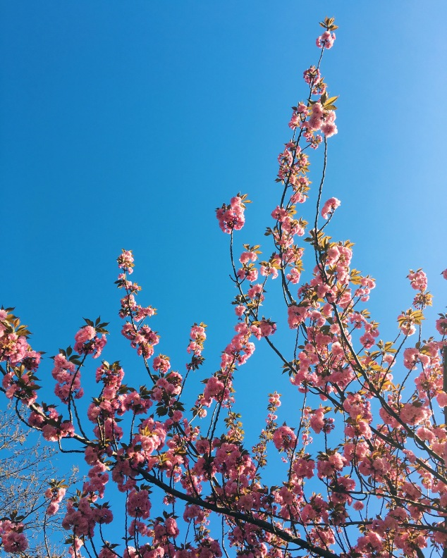 Cherry blossoms in Washington Square, New York City