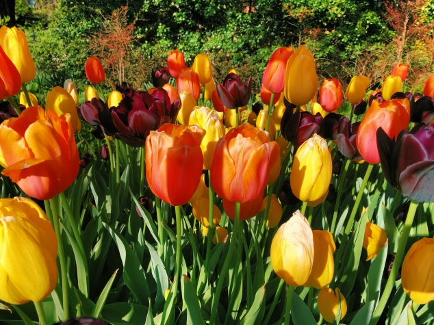 Colorful tulips at Brooklyn Heights Promenade